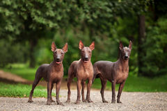 Three dogs of Xoloitzcuintli breed, mexican hairless dogs standing outdoors on summer day. Horizontal portrait of three dogs of Xoloitzcuintli breed, mexican royalty free stock image