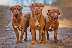 Three dogue de bordeaux dogs Royalty Free Stock Photography