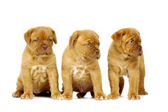 Three Dogue De Boudeux Puppies Isolated on a white background Stock Photos