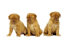 Three Dogue De Boudeux Puppies Isolated on a white background Stock Image