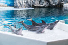 Three Dolphin come up on the land of the swimming pool. Stock Photo