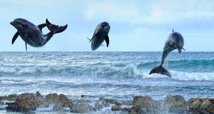 Three Dolphins. Jumping over the ocean Royalty Free Stock Photography