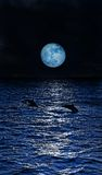 Three dolphins. Dolphins jumping in the moonlight at the Maldives Stock Photography