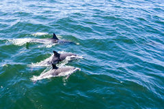 Three Dolphins. Dolphins in open blue sea swimming next to each other Stock Image