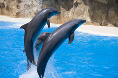 Three dolphins. Three beautifull dolphins out of the water Stock Photo