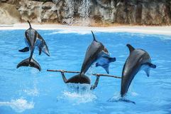 Three Dolphins in action. Three dolphins during an aquatic show Royalty Free Stock Photo