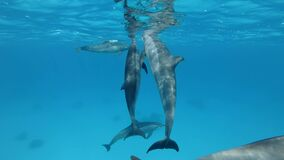 Three dolphins communicate with each other. Animals communication in the wildlife