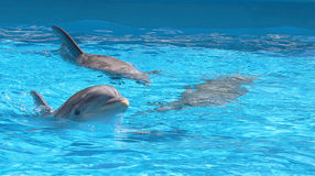 Three Dolphins happy inside water. Dolphins happy on water in sea world Stock Photography