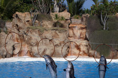 Three dolphins juming in rings. In a pool Stock Images
