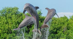 Three dolphins in a jump from the water, in splashes of water, against a background of trees and a blue cloudless sky. Cuba Royalty Free Stock Photo