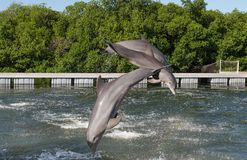 Three dolphins in a jump from the water, in splashes of water, against a background of trees and a blue cloudless sky. Cuba Stock Photo