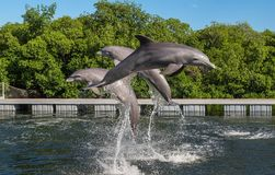 Three dolphins in a jump from the water, in splashes of water, against a background of trees and a blue cloudless sky. Cuba Stock Photos