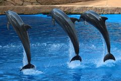 Three dolphins jumping in the air. Dolphins jumping out the pool at a dolphin show Stock Photos