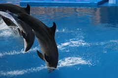 Three dolphins leaping. Into water Stock Photos