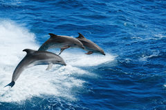 Three dolphins. Marine wildlife background - three bottlenone dolphins jumping over sea waves Royalty Free Stock Images