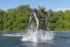 Three dolphins at the moment of a jump above the surface of the sea, in splashes of water, against a background of. Mangrove thickets and a blue sky, Cuba Royalty Free Stock Photos