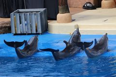 Three dolphins performing. In a show Stock Image
