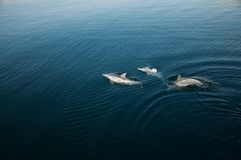 Three dolphins playing in the sea. Dolphins playing in the water of persian gulf in the morning hour Stock Image
