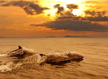 Three dolphins playing in the sunset sea. With water splashes Stock Photo