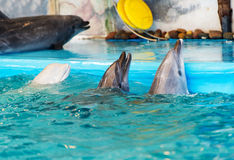 Three dolphins in the pool. Dolphin in the pool. Show in the Minsk dolphinarium Stock Image