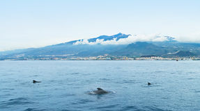 Three dolphins in sea near island. Three dolphins swimming in atlantic ocean near las americas, tenerife, canary islands Stock Image