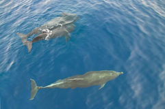 Three dolphins in sea. Three dolphins swimming in atlantic ocean near las americas, tenerife, canary islands Stock Photos
