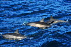 Three Dolphins swimming Stock Photo