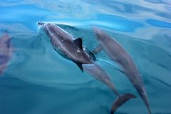 Dolphins swimming in calm waters stock images