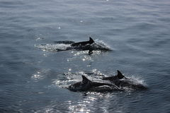 Three dolphins. Swimming in the Pacific Ocean off the coast of Santa Barbara, California Stock Images