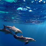 Three dolphins swimming underwater stock photos