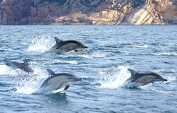 Three Dolphins. There are 43 species of dolphins found in the world. There are 38 marine dolphins, and 5 river dolphins. They live mainly in saltwater such as Stock Photography