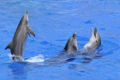 Three dolphins in water. Three bottlenose dolphins (Tursiops truncatus) in blue water  including one standing on the tail Stock Photo