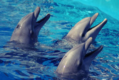 Three Dolphins in the water. Three Dolphins playing in the water Royalty Free Stock Images