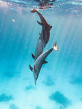 Three dolphins. Wild spinner dolphins in the coral reef Royalty Free Stock Photos
