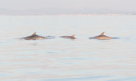 Three dolphins Royalty Free Stock Photos