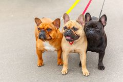 Three domestic dogs French Bulldog breed Royalty Free Stock Photography