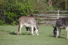 Three domestic donkeys grazing on a green field royalty free stock image