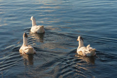 Three domestic geese on river Stock Images