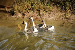 Three domestic goose Stock Photography