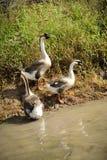 Three domestic goose Stock Image