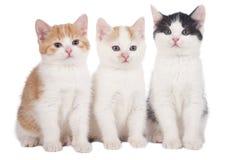 Three domestic kitten Royalty Free Stock Photography