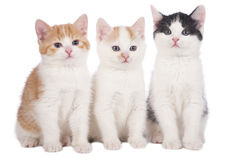 Three domestic kitten Royalty Free Stock Image