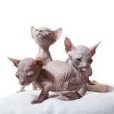 Three Don sphynx kittens. Three little cute Don sphynx kittens on the white background Stock Photos