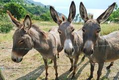 Three donkey on italian farm Stock Photos