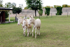 Three donkeys Royalty Free Stock Image