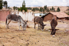 Three Donkeys above Cusco, Peru. Three Donkeys grazing above Cusco, Peru, the Andes Mountains in the background Royalty Free Stock Image