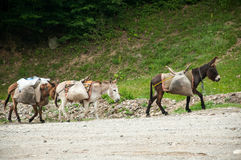 Three donkeys carrying loads Royalty Free Stock Image