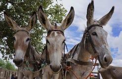Three donkeys Stock Image