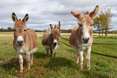 Three Donkeys Stock Image