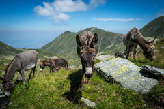 Three donkeys eating grass in the mountains. With blue sky and clouds in the background stock photography